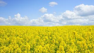 Agriculture, champ, colza, marché commun, politique agricole commune, pac, union européenne, UE
